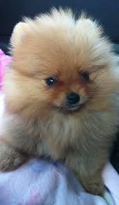 My pim pim pomeranian Cute Puppies, Cute Dogs, Dogs And Puppies, Cute Babies, Blue Merle Pomeranian, Baby Animals, Cute Animals, Pom Dog, German Spitz
