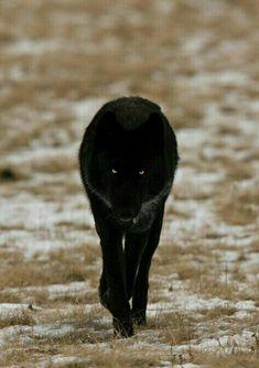 Walking black wolf