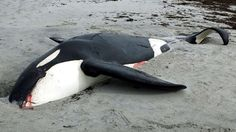 """Scotland: Sad report. Lots of human-created debris in dead sub-adult Orca's stomach such as fish hooks and plastic bags. """"In Uist you are in ground zero for strandings, with a wide range of species liable to wash up."""""""