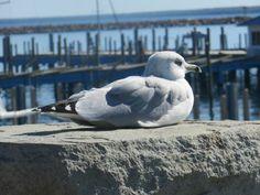 Seagull sentinal (88 pieces)