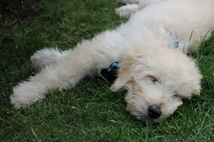 This guy looks like my goldendoodle as a puppy!  I could just die <3