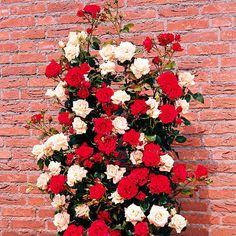rosen schneiden rosenr ckschnitt im fr hling und im herbst rosen schneiden rose und fr hjahr. Black Bedroom Furniture Sets. Home Design Ideas