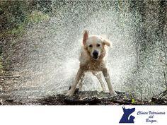 La temporada afecta la salud de tu mascota. LA MEJOR CLÍNICA VETERINARIA DE MÉXICO.  La temporada de lluvias afecta a nuestras mascotas, ya que las corrientes de aire, el cambio de temperatura y el incremento en los parásitos en el ambiente, pueden producir enfermedades en ellas. En Clínica Veterinaria del Bosque te recomendamos llevar al corriente las vacunas de tu mascota, evitar que se moje y traerlo a la Clínica periódicamente a revisión. #veterinariadelbosque