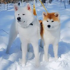 Japanese Akita, Japanese Dogs, Shiba Inu, Cute Puppies, Cute Dogs, Japanese Dog Breeds, Animals And Pets, Cute Animals, Japon Tokyo