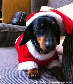 My Christmas List – Crusoe the Celebrity Dachshund