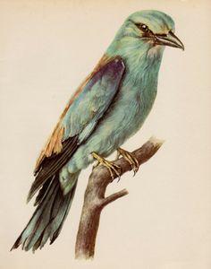 Vintage Bird Print Lovely European Roller Bird Illustration Lodge and Cottage Decor  Vintage Animal Print Plaindealing 1696