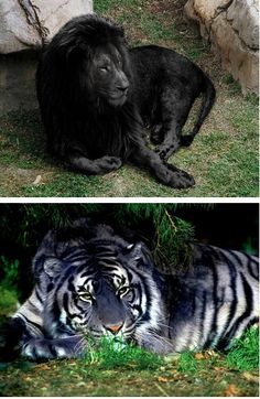 Melanie Lion & Maltese Tiger