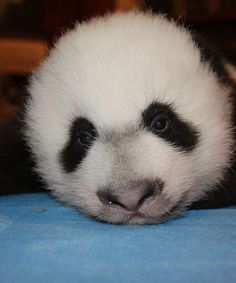 Bei Bei Baby Panda Napping Smithsonian National Zoo | Bei Bei just made his public debut at the Smithsonian's National Zoo and boy are his eyes tired. #refinery29 http://www.refinery29.com/2016/01/101396/bei-bei-panda-napping-national-zoo