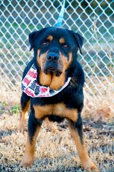 Meet Dice, a Petfinder adoptable Rottweiler Dog | Muldrow, OK | Dice is a very gentle dog but is listed as special needs because he tested positive for heartworms...