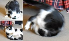 Roary the athletic cat shows off his amazing somersault talent