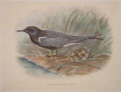 """shore birds hydrochelldon nigraitalian contemporary hand coloured lithograph 9 x 12"""" $75"""