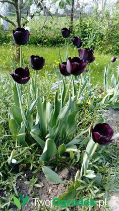 #tulipany #kwiaty #ogród #wiosna Vegetables, Plants, Paradise, Projects, Vegetable Recipes, Plant, Veggies, Heaven, Planting