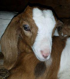 Surprise, my silly little Tsuki goat!