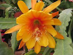 "Epiphyllum ""Liberty Glow"""
