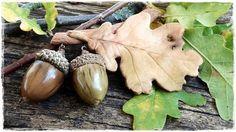 acorns - (żołędzie)....  . acorn- (żołądź)
