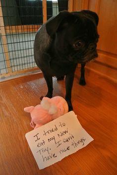 Pug shame