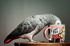 Prior pinner wrote: The image of my parrot drinking tea that went a little nuts a while ago on the net.