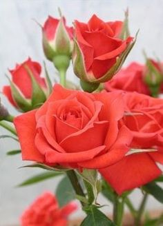Beautiful Nature Pictures, Beautiful Flowers Wallpapers, Beautiful Roses, Coral Bells, Special Flowers, Love Rose, Flower Wallpaper, Red Flowers, Trees To Plant