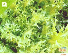 De origem europeia, a chicória destaca-se por ser uma hortaliça  muito nutritiva e cheia de propriedades medicinais. A parte consumível da chicória são as suas folhas, que tem um sabor levemente amargo, e possuem ação diurética.