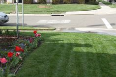 Planted Tulips with lawn care #LawnCare #gardenchat share by @FLINTSCAPEAPE