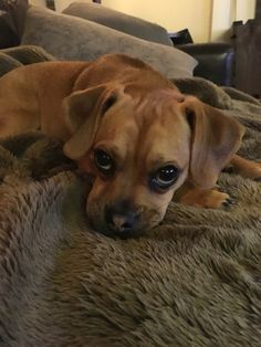Bella puggle - the BEST puppy dog eyes ever