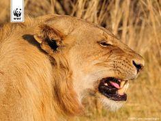 Leeuw in Luangwa NP, Zambia