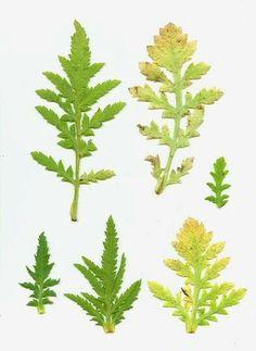 Poppy leaves image opium poppy papaver somniferum inspiration similar ideas mightylinksfo