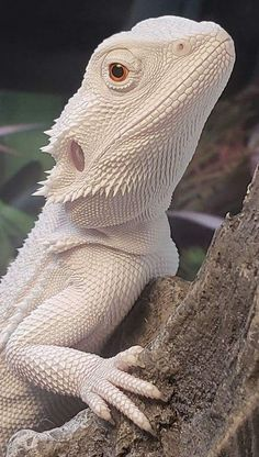 What To Feed A Baby Bearded Dragon? Find Out Here! Les Reptiles, Cute Reptiles, Reptiles And Amphibians, Animals And Pets, Funny Animals, Cute Animals, Animal Memes, Beautiful Creatures, Animals Beautiful