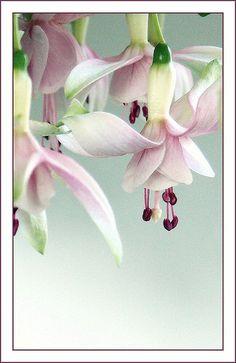 Fuchsia Gracefulness