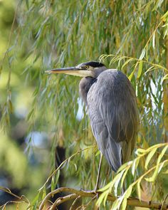 A Great Blue Heron basking in the warm sunhine. Nature and Wildlife prints for your home or office decor by Keith Boone. Thing 1, Plant Art, Blue Heron, Art Prints For Sale, Artist At Work, All Art, Art Images, Fine Art America, Original Artwork