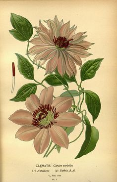 Favourite Flowers of Garden and Greenhouse - Frederick Warne  Co. - 1896 / 97