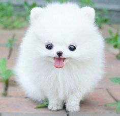 White small fluffy dog