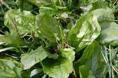 ZOLA TRICKS: Syrup Of Plantain (Plantago Lanceolata). Miraculou...