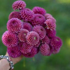 Dahlia Koko Puff - Floret Flowers