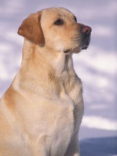 Labrador Retriever. That's one good looking dog