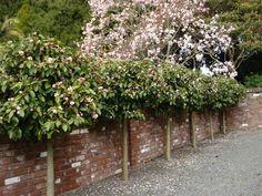Lollipopped Fairy Magnolia Blush with Magnolia Iolanthe behind