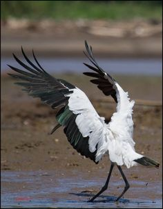 Wood Stork (photo by chris jimenez) World Birds, Animals Of The World, Stork Bird, Tropical Animals, Costa Rica Travel, Big Bird, Beautiful Birds, Mother Earth, Animal Photography