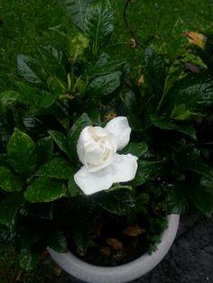 Gardenia después de la lluvia... :)