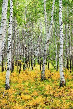 foret de bouleaux: forêt de bouleaux Banque d'images