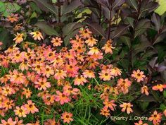 The dark-centered flowers of Coreopsis 'Limerock Dream' echoing the dark foliage of Weigela florida 'Bramwell' [Fine Wine]; Nancy J. Ondra at Hayefield