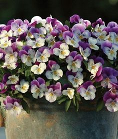 Violas.    Oh how beautiful! These look so much like pansies.  I grow the pansies in my yard.