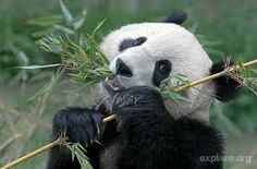 C'MON , C'MON , Are you scared ? I can take you down with my delicious bamboo stick !