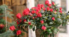 Azalea, rød. Plants, Flora, Plant, Planting