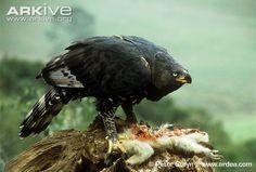 hawks and eagles | Crowned hawk-eagle photo - Stephanoaetus coronatus - G35682 | ARKive