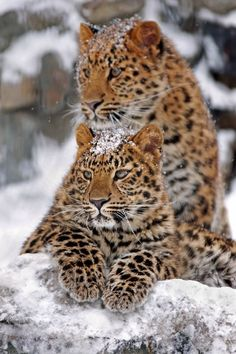 Leopards are sitting on snow in snowfall..... click on picture to see more