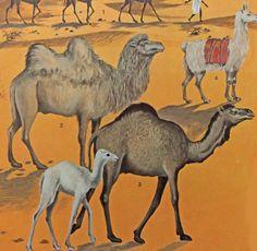 Camels illustration - Camel picture - vintage drawings of camels - home decor…