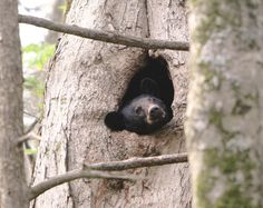 Black bear hiding spot.