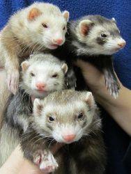 Foursome of Ferrets for adoption!