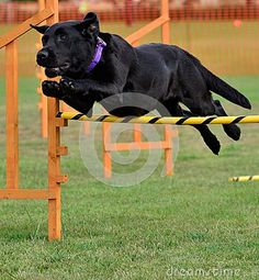 Dog showing great agility nearing the finish line