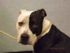 RTO SAFE❤️❤️ 8/5/16 Manhattan center BLUE – A1082568 ***DOH HOLD – B*** NEUTERED MALE, BLACK / WHITE, PIT BULL MIX, 3 yrs OWNER SUR – ONHOLDHERE, HOLD FOR DOH-B Reason ATT ANIMAL Intake condition EXAM REQ Intake Date 07/25/2016, From NY 10462, DueOut Date